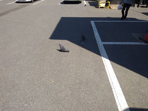ジョイフル本田に行ったらコイン精米の前に鳩が群れていた